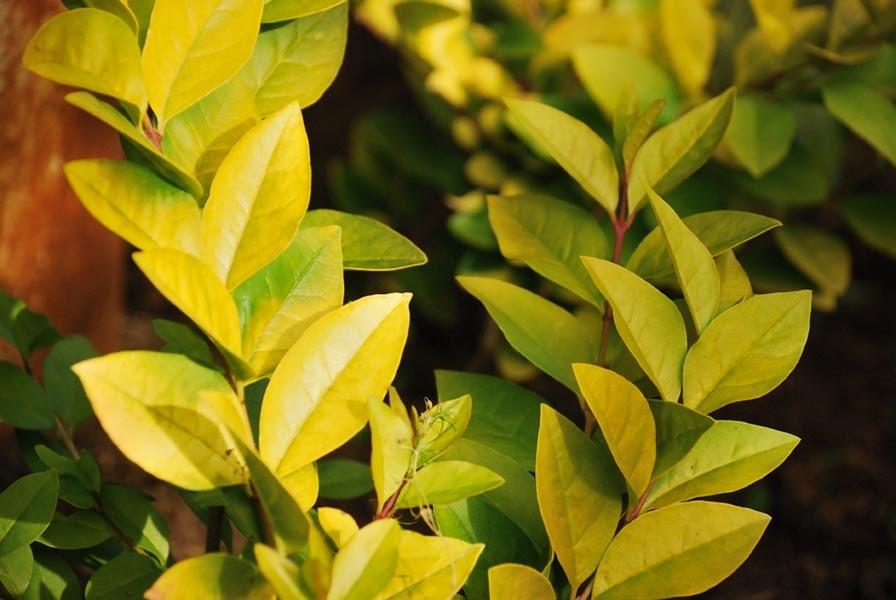 Бирючина обыкновенная (Ligustrum Aurea)