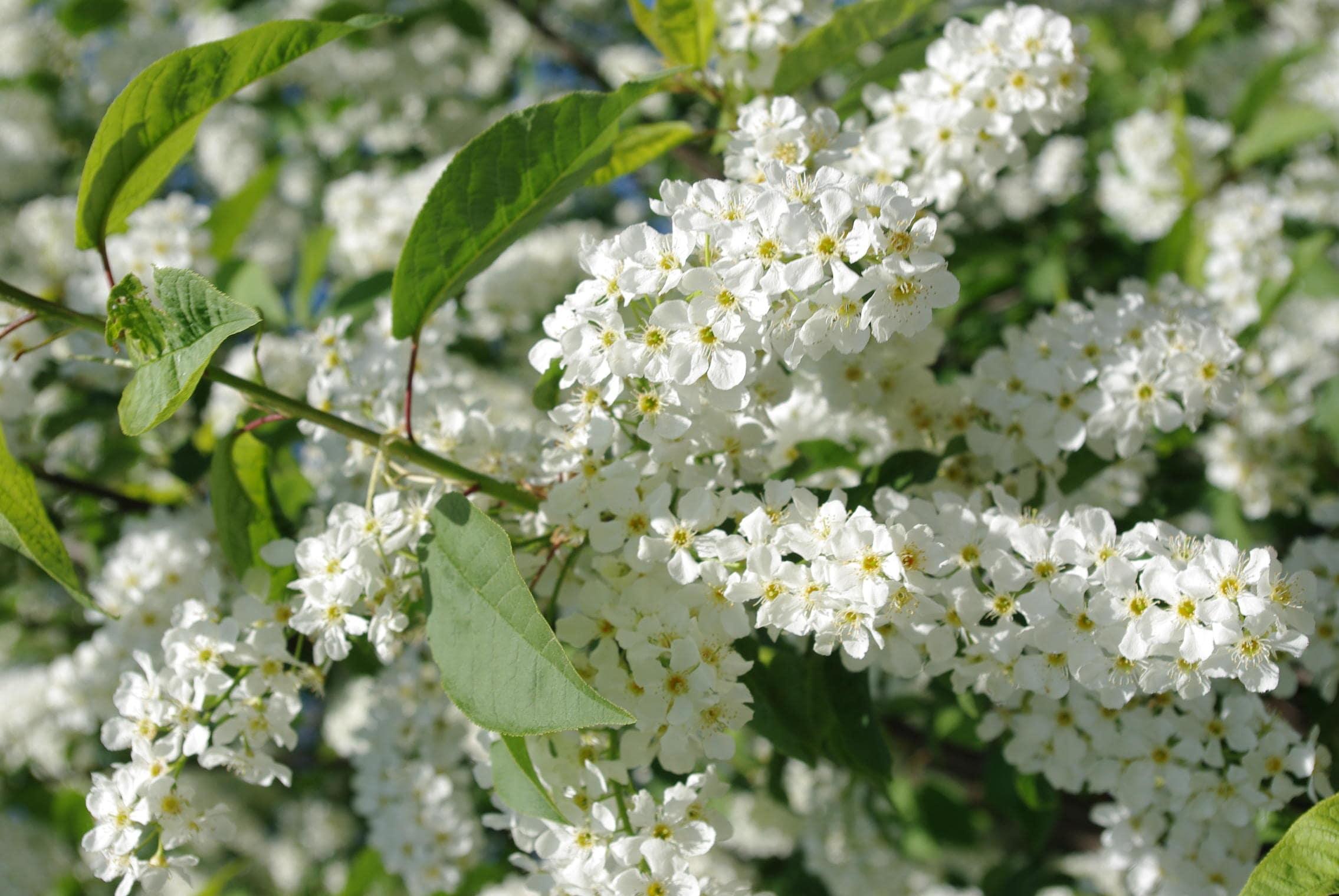 Черемуха обыкновенная (Prunus padus)