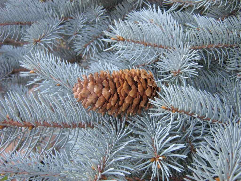 Ель голубая «колючая» (Picea pungens)