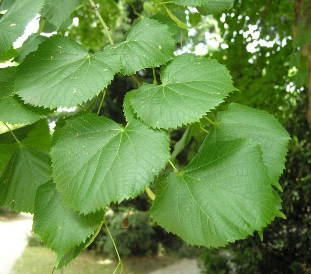 Липа крупнолистная (Tilia platyphyllos)