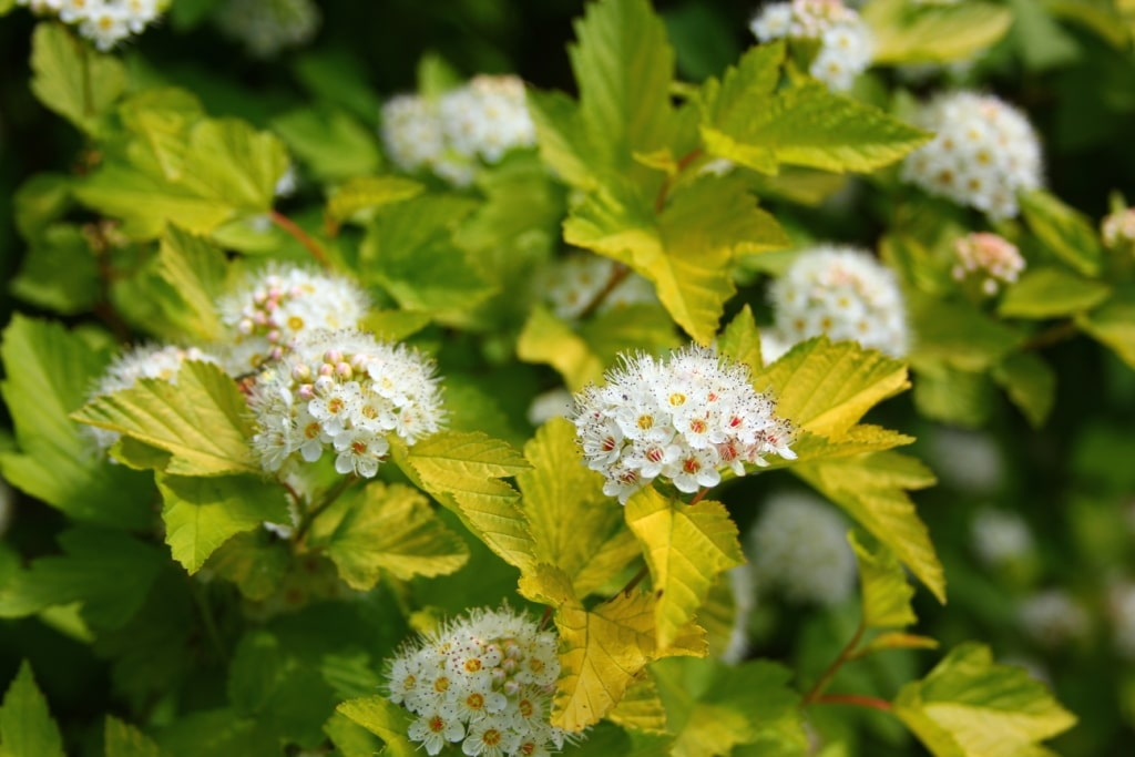 Пузыреплодник (Physocarpus Luteus)